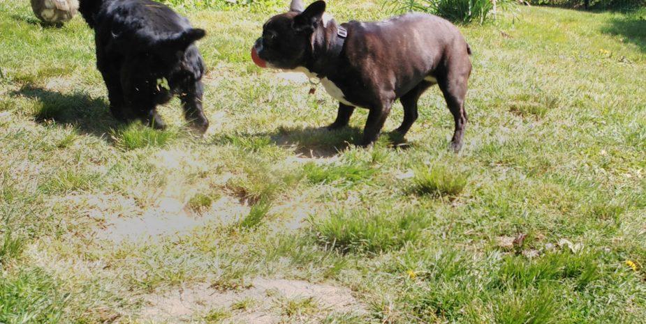 Jeux entre chiens chez Babine Pension. La pension canine et féline située en campagne à quelques kms de Limoges