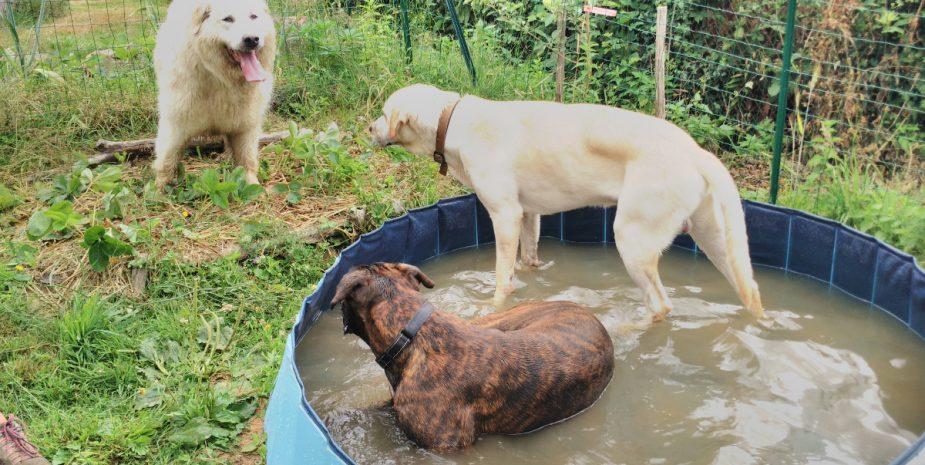 Détente piscine entre toutous ches Babine Pension.